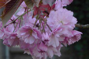 cerisier02