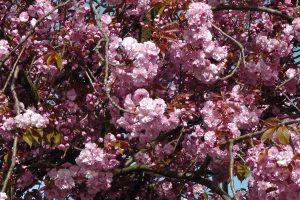 cerisier03