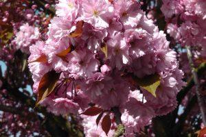 cerisier04